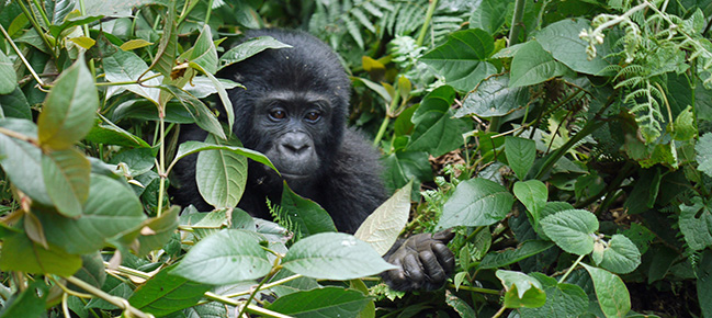 Parc national de Bwindi